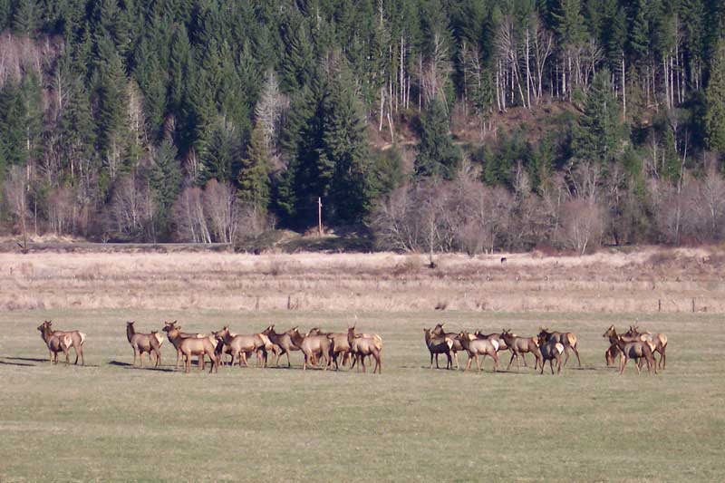 Scenic Features - Elk at Randle - copyright Dave Garoutte