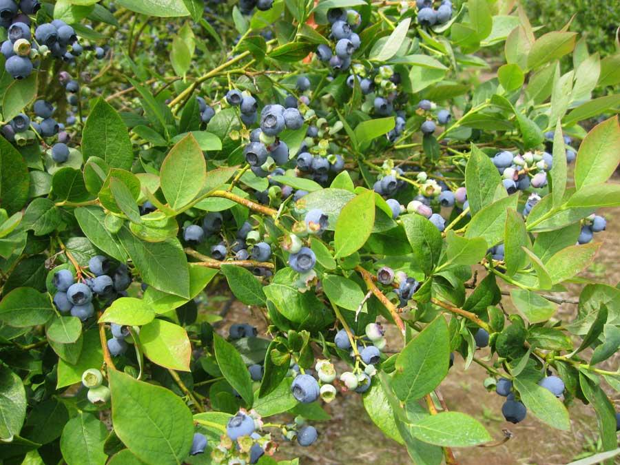 Mossryrock Blueberry Festival