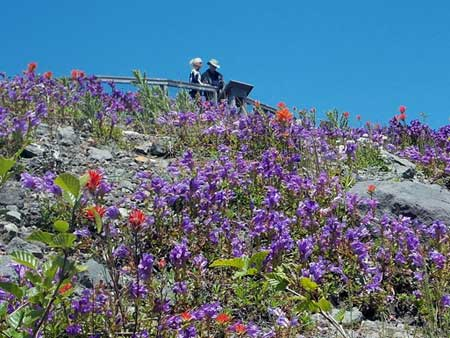 Wildflowers at Mt St Helens National Park