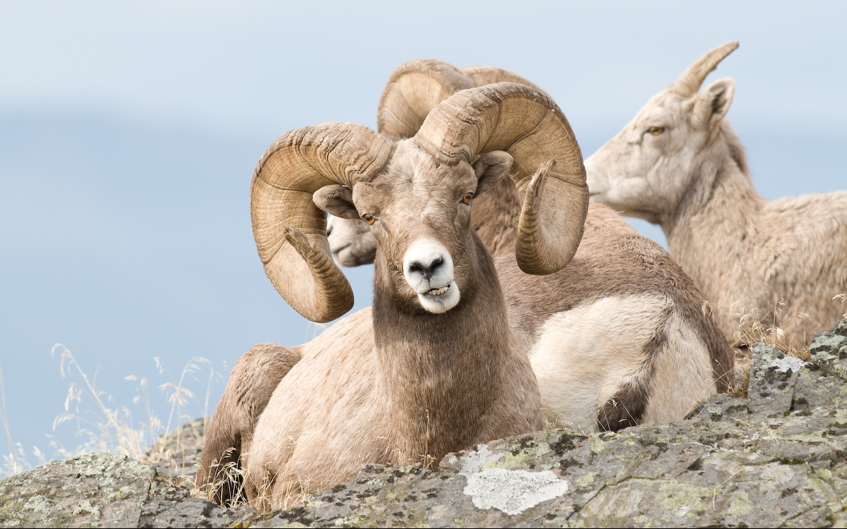 Group of Bighorn Sheep resting in the Cascade Mountains