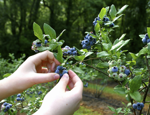 Huckleberry Season Opens on the Gifford Pinchot National Forest